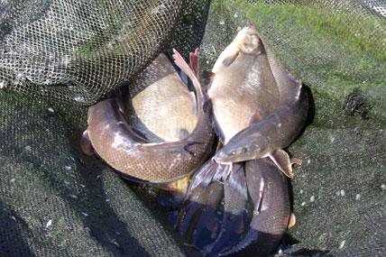 Grillades de poissons blancs